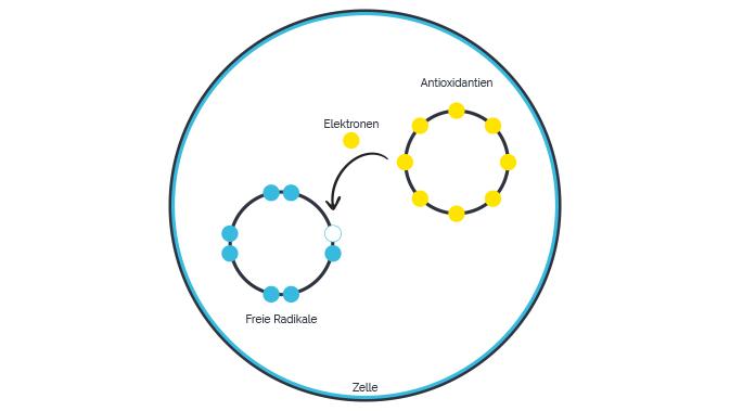 Antioxidantien geben den Freien Radikalen freiwillig ein Elektron ab und schützen damit unsere Zellmoleküle.